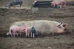 Cuxland, Geestland-Sievern 2014, Glückliche Schweine auf dem Biohof Icken