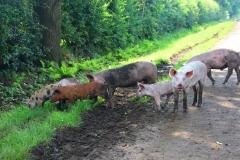 Cuxland, Geestland-Sievern 2017, Glückliche Schweine auf dem Biohof Icken