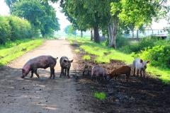 Cuxland, Sievern 2017, Glückliche Schweine auf dem Biohof Icken