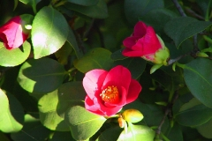 Pillnitzer Kamelienblüte