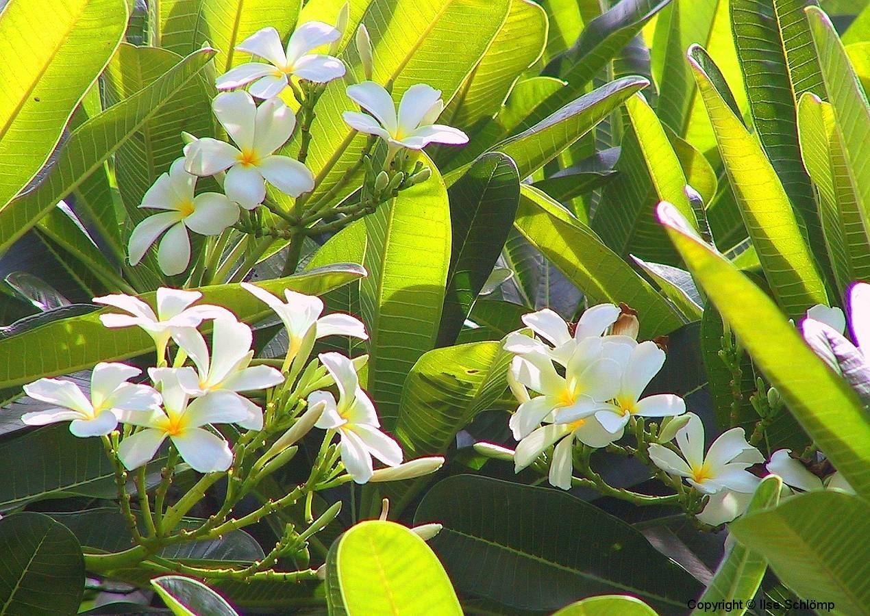Kenia, Frangipaniblüten