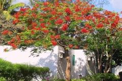 Kenia, Flammenbaum