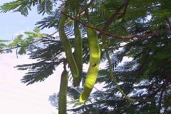 Kenia, Hülsenfrucht des Flammenbaumes