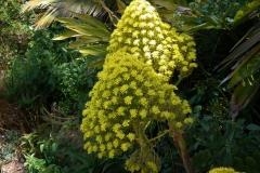 San Francisco, Gelbe Blütenkerze