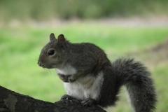 San Francisco, Japanischer Garten, Eichhörnchen