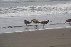 San Francisco, Pazifikküste, Rostbrachvögel
