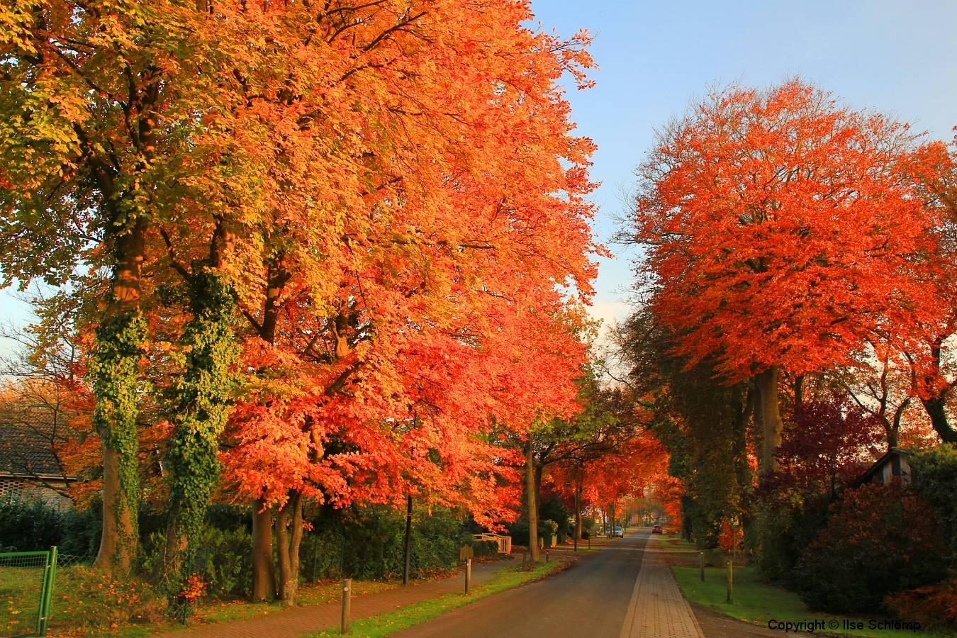 Cuxland, Stinstedt, Herbstfärbung in der Ringstraße, Herbst 2012