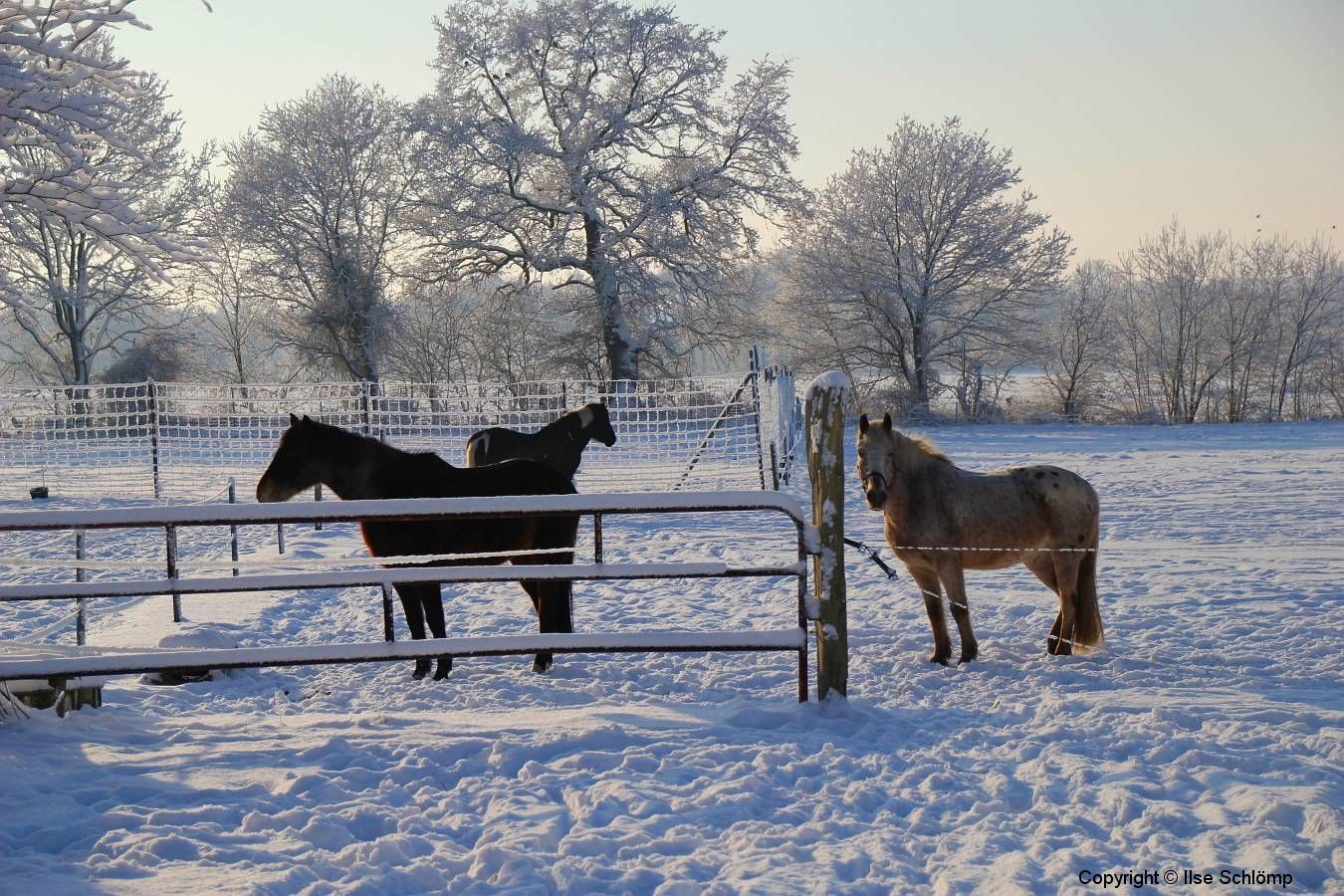Cuxland, Stinstedt, Pferde an der Ringstraße im Winter 2010