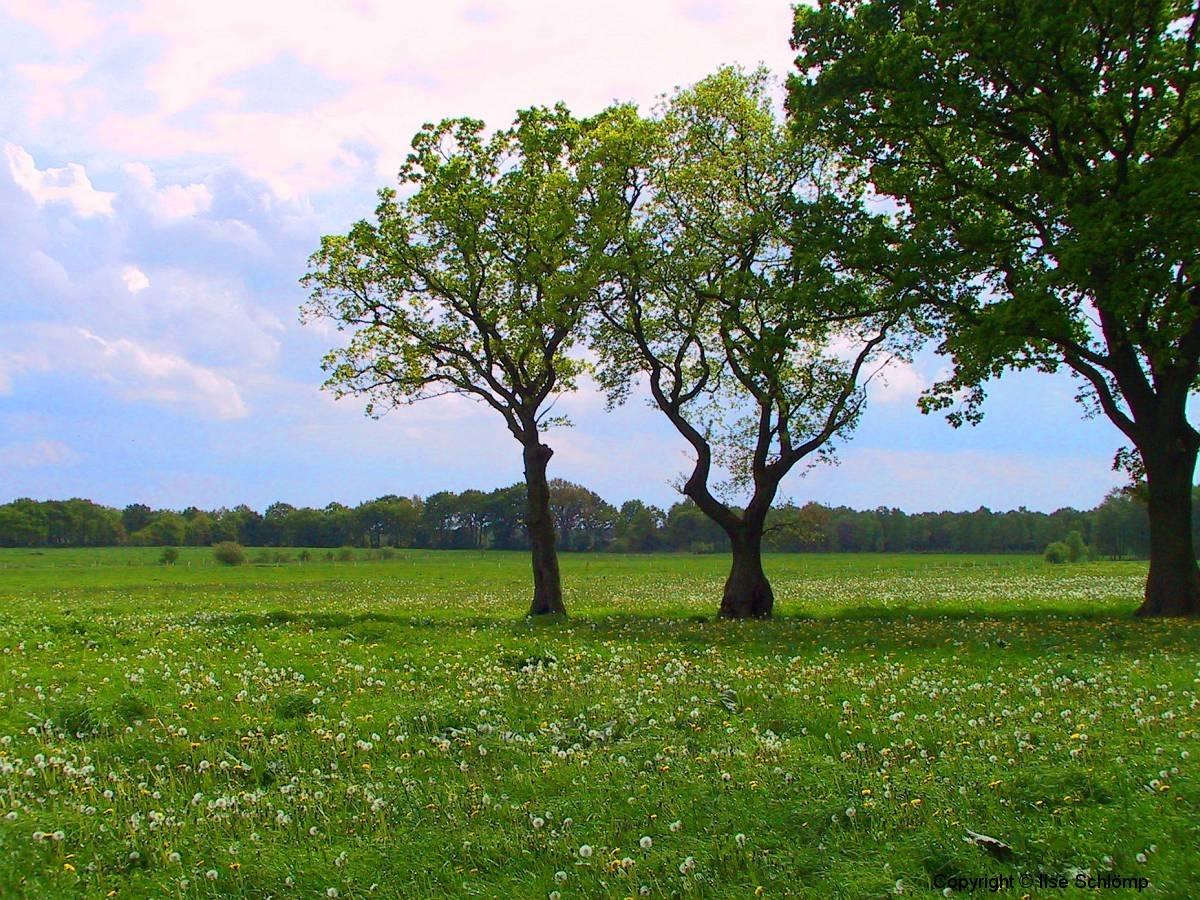 Cuxland, Stinstedt, Lütje Wisch, Blick über eine Löwenzahnwiese, Frühling 2003