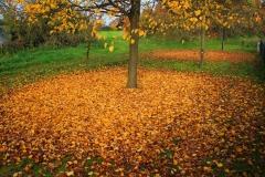 Cuxland, Stinstedt, Herbstlaub der Linden Am Scheunenplatz, Herbst 2011