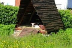Cuxland, Stinstedt, Ziegen Am Historischen Weg, Sommer 2012