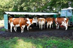 Cuxland, Stinstedt, Sommer 2021,  Kühe warten geduldig am Melkstand bis sie an der Reihe sind