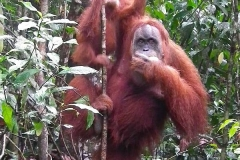 Sumatra, Leuser Nationalpark, Orang Utan Mutter mit Baby