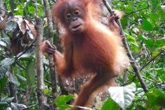 Sumatra, Leuser Nationalpark, Orang Utan Baby