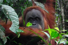 Sumatra, Leuser Nationalpark, Orang Utan Mutter