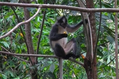 Sumatra, Leuser Nationalpark, Thomas-Langur