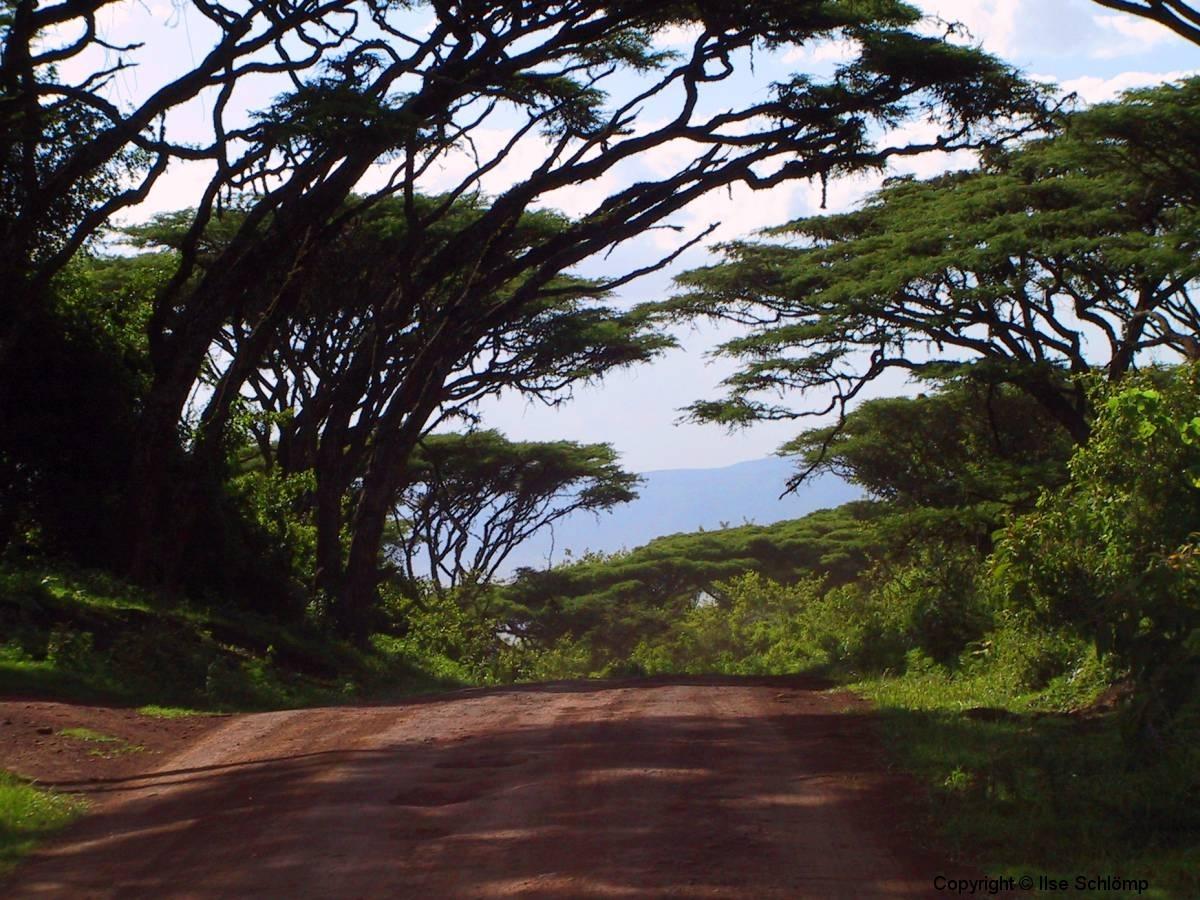 Tansania, Ngorongoro, Akazienweg