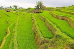 Indonesien, Bali, Reisterrassen bei Jatiluwih