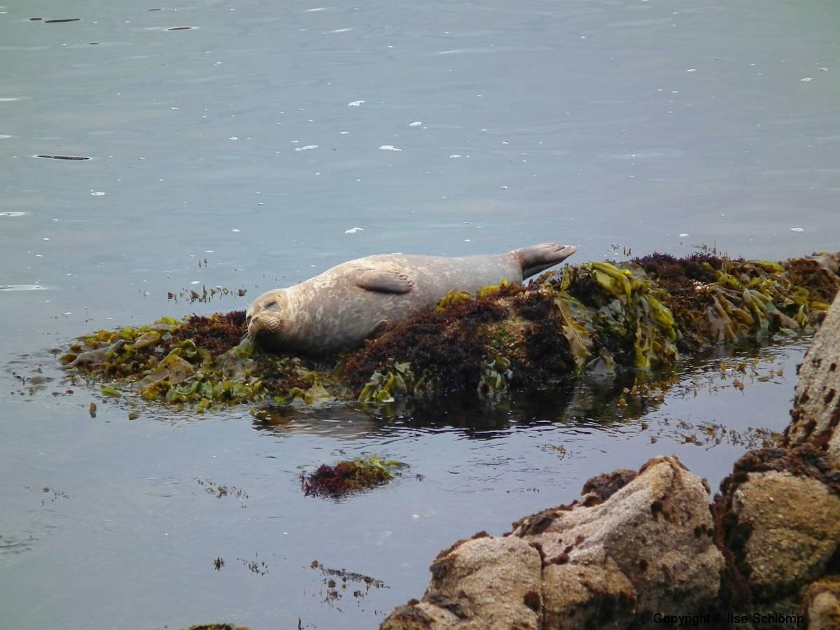 USA, Kalifornien, Monterey, Seelöwe