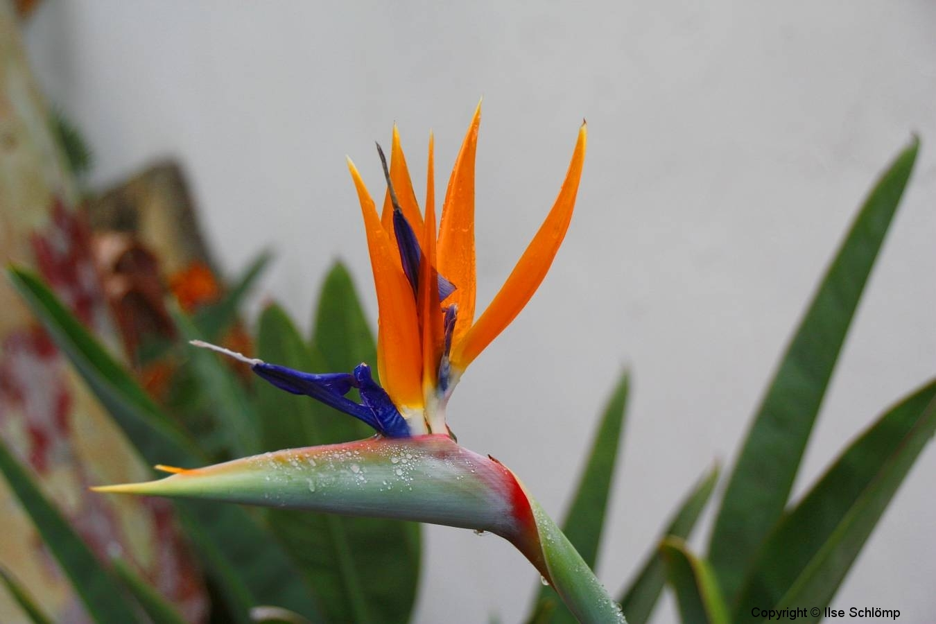 USA, Kalifornien, Santa Barbara, Paradiesvogelblume