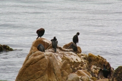 USA, Kalifornien, Monterey, Kormorane