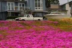 USA, Kalifornien, Monterey, Mesembryanthemum (Mittagsblume)