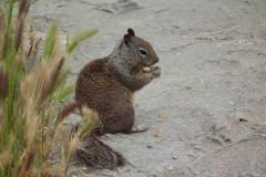 USA, Kalifornien, Monterey, Eichhörnchen