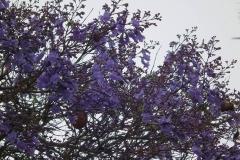 USA, Kalifornien, Santa Barbara, Jacarandablüten