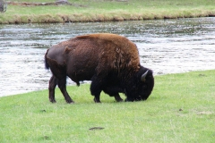 Yellowstone Nationalpark, Bison