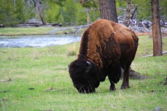 Yellowstone Nationalpark, Bison