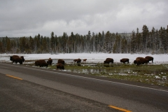 Yellowstone Nationalpark, Bisons