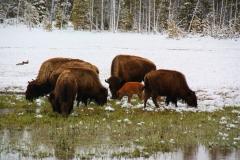 Yellowstone Nationalpark, Bisons