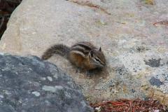 Yellowstone Nationalpark, Streifenhörnchen
