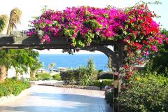 Ägypten, Rotes Meer, Sharm El Sheikh 2009, Bougainvillea