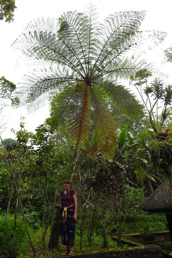 Bali, alter Baumfarn