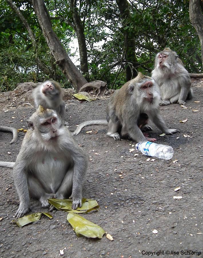 Bali, Makaken