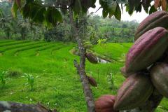 Bali, Reisterrassen bei Jatiluwih, Kakaobaum