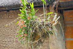 Bali, Dorf Tenganan, Orchidee