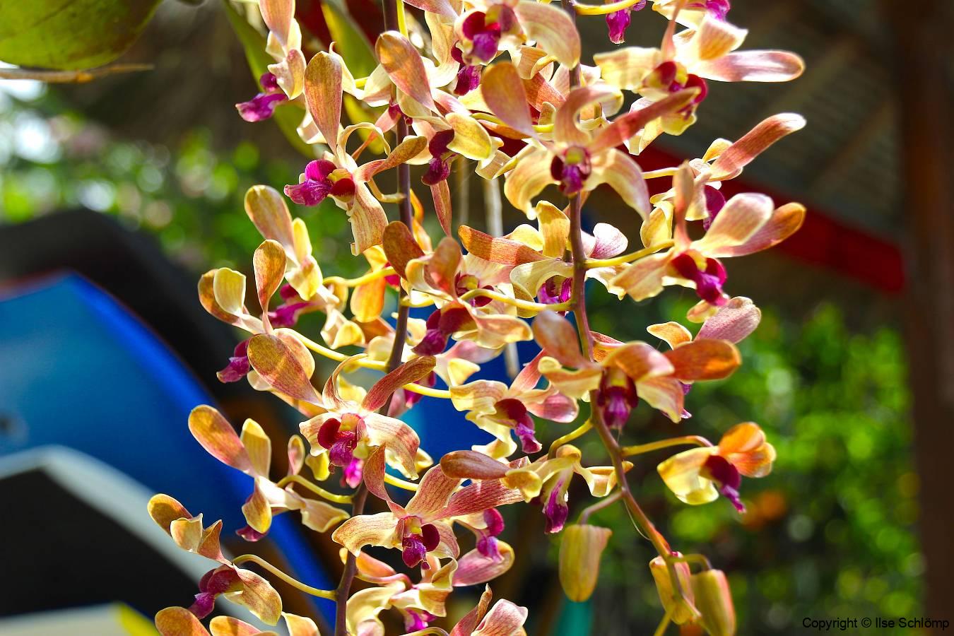 Bali, Puri Dajuma Cottages, Orchidee