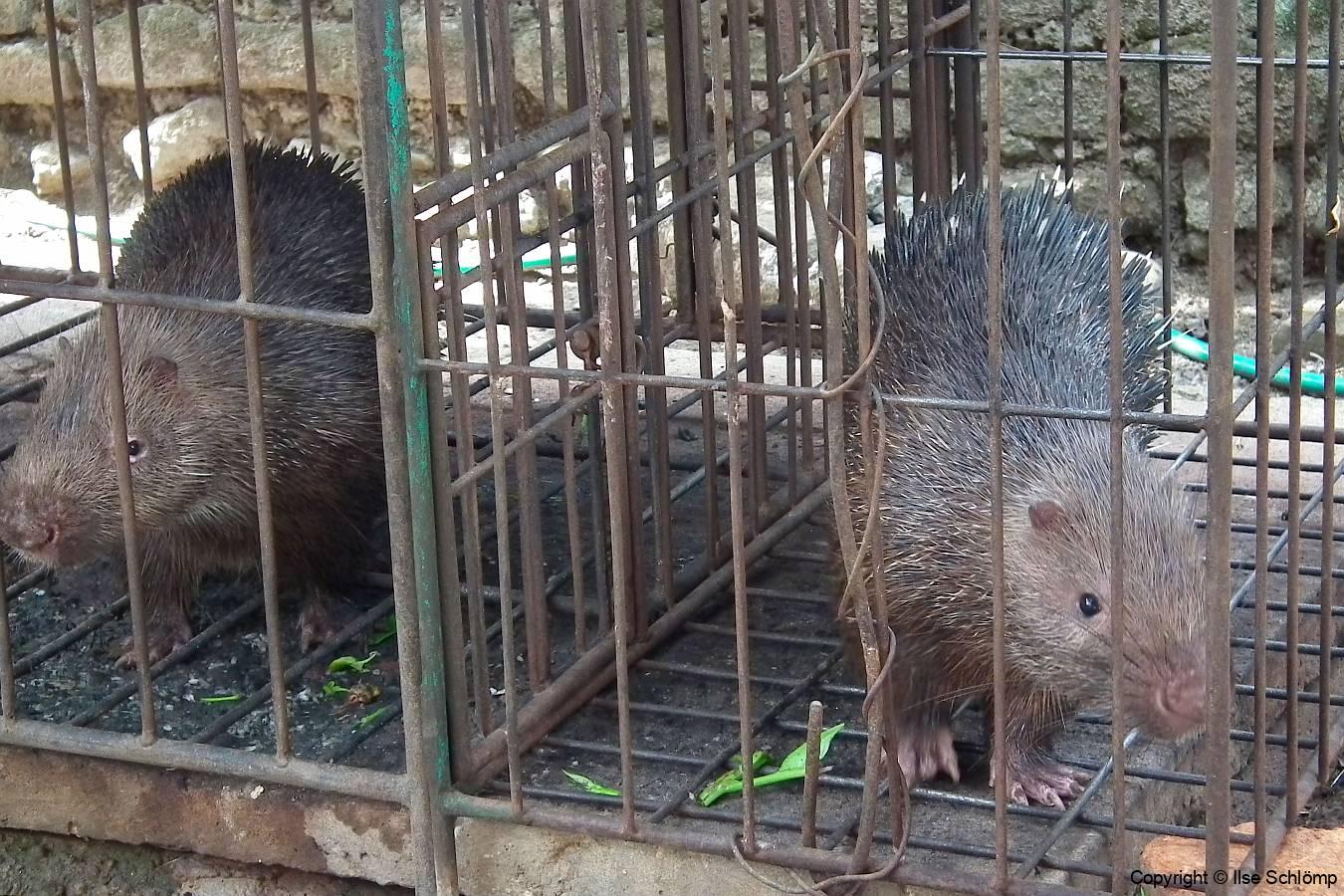 Bali, Sunda Stachelschweine