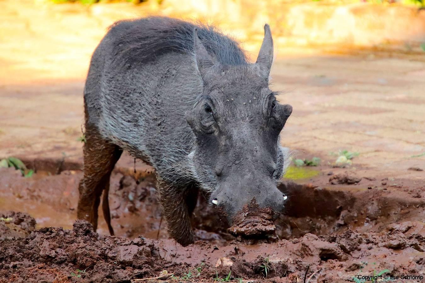 Botswana, Chobe Nationalpark, Chobe Safari Lodge, Warzenschwein