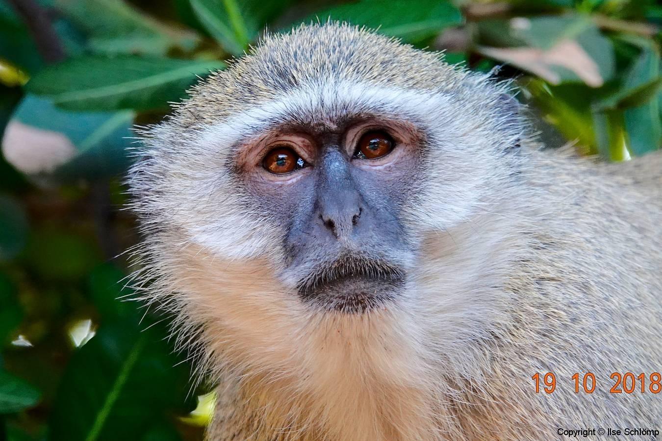 Botswana, Chobe Nationalpark, Chobe Safari Lodge, Meerkatze