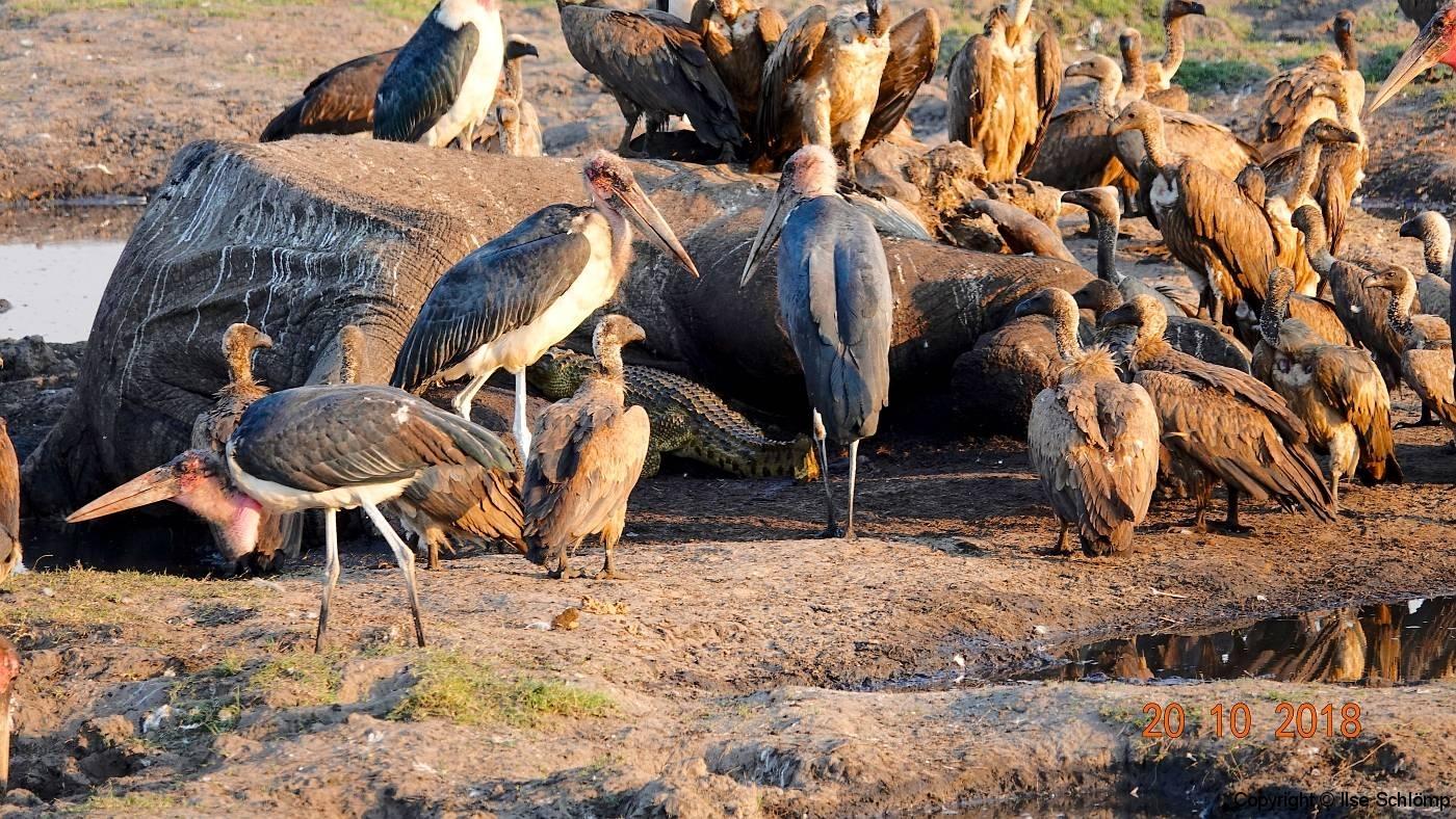 Botswana, Chobe Nationalpark, Marabus, Geier und Krokodile beim gemeinsamen Mahl