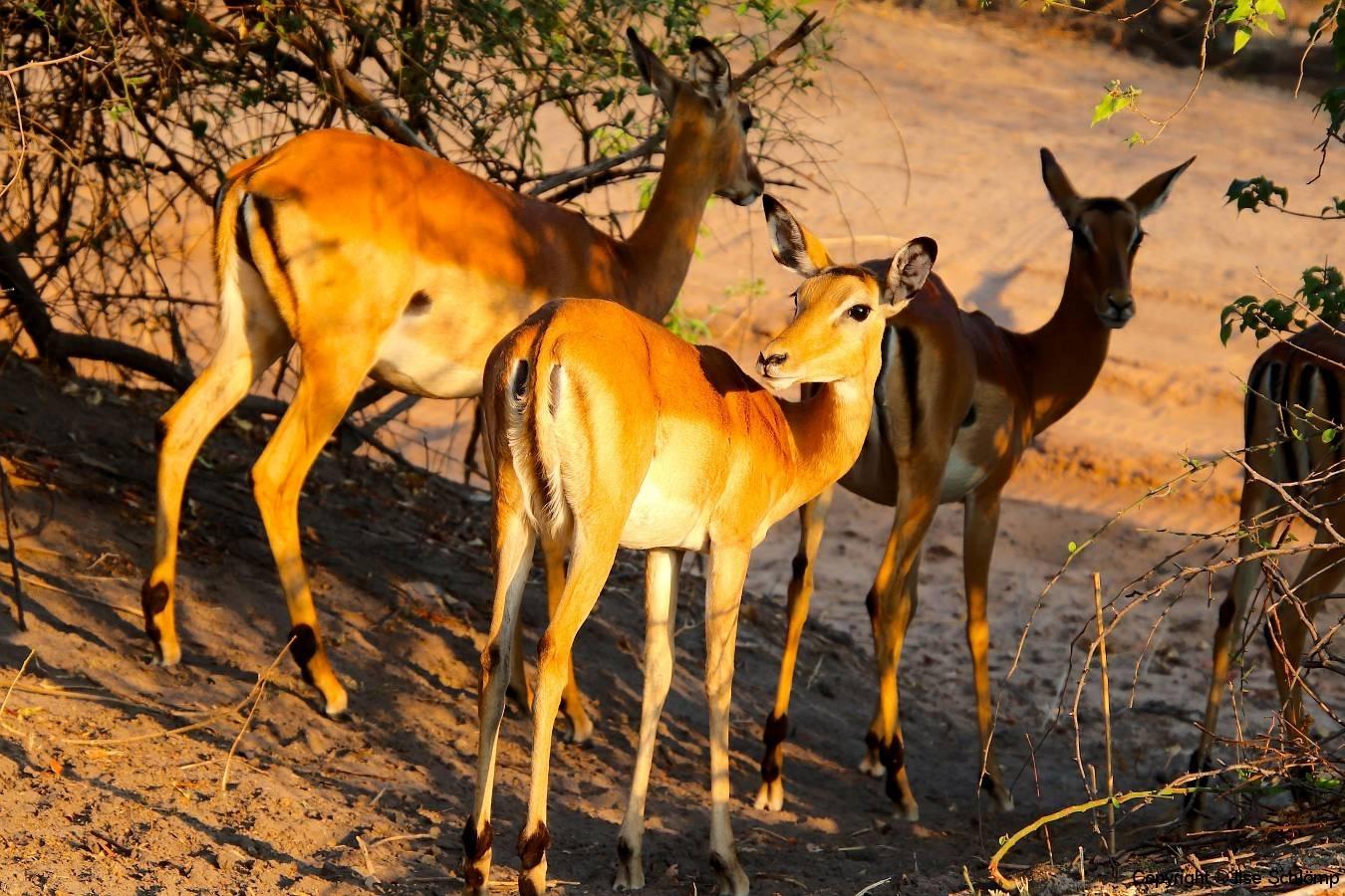 Botswana, Chobe Nationalpark, Impalas