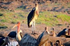Botswana, Chobe Nationalpark, Marabu