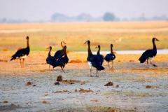 Botswana, Chobe Nationalpark, Sporngänse