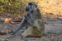 Botswana, Chobe Nationalpark, Pavian