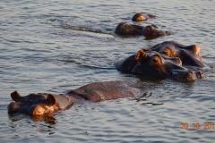 Botswana, Chobe Nationalpark, Flusspferde