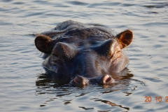 Botswana, Chobe Nationalpark, Flusspferd