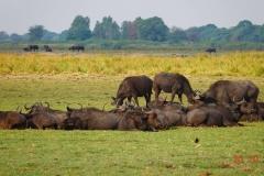 Botswana, Chobe-Fluss, Büffel